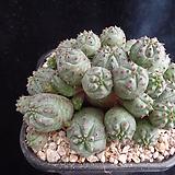 미니오베사326 Baseball Plant (Euphorbia obesa)