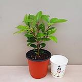 후피향나무(외목소품) 