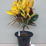 크로톤(외목대품/2)-동일품배송 Codiaeum Variegatum Blume Var Hookerianum