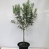 올리브나무(대품 동일품배송 )|