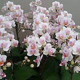 호접란.리틀 프린스.다시입고.은은한향기.(네추럴흰색)(꽃형 미니귀여운형).작은품종.귀한품종.상태굿.신품종.고급종.|