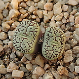 위트버젠스_g67|Conophytum Wittebergense