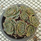 환엽 롱기시마_o2|Echeveria longissima
