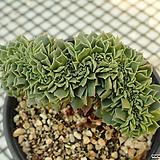 환엽 롱기시마 철화_g72|Echeveria longissima