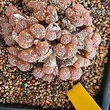 코노피튬089161|Conophytum