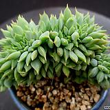 라밀라떼 철화 9-520|Echeveria Lamillette  f cristata