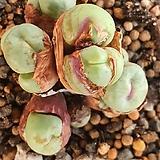 파가에 코노피튬09161|Conophytum