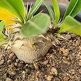 덴시플로라 아프리카식물09161|Echeveria Derenceana(lola)