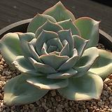 칸슈(블루라이트교배종) Echeveria Blue Light