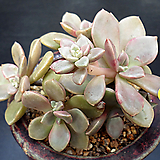 비피다 7두|Echeveria sp Vista Hermosa,bifida