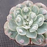 레인드랍목대1681|Echeveria Frill Raindrops