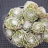 왕거미줄바위솔(철화끼도있1696어요)|Sempervivum arachnoideum tomentosum