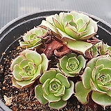 롱기시마군생1699|Echeveria longissima