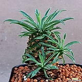괴마옥 자구많이나와요 998|Euphorbia hypogaea