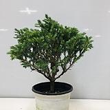 블루버드 비단삼나무(동일품배송 )|