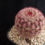 자태양510 Echinocereus rigidissimus Purpleus