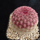 자태양372 Echinocereus rigidissimus Purpleus