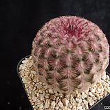 자태양357 Echinocereus rigidissimus Purpleus