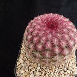 자태양431 Echinocereus rigidissimus Purpleus