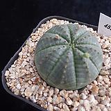 오베사455 Baseball Plant (Euphorbia obesa)