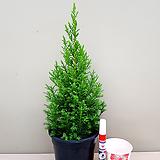 미국 편백나무(예쁜수형) 