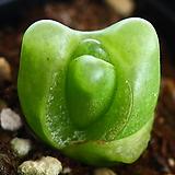 사이즈좋음 마우가니 1 Conophytum maughanii