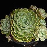 중대품 온슬로우 2 Echeveria cv  Onslow