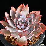 묵은둥이 핑키 목대 7 Echeveria cv Pinky