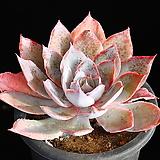 묵은둥이 핑키 목대 8 Echeveria cv Pinky