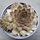 마호가니 바위솔-5101|Conophytum maughanii