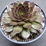 마호가니 바위솔-5103|Conophytum maughanii