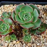 환엽롱기시마 1056|Echeveria longissima