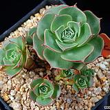 환엽롱기시마 141|Echeveria longissima
