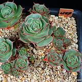 환엽롱기시마 479|Echeveria longissima
