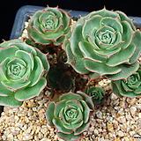 환엽롱기시마 1207|Echeveria longissima