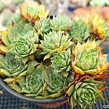 호랑이발톱바위솔|Sempervivum hawouthii