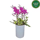 만천홍 서양란 난꽃 개업선물 난선물 축하난 승진난 양난|