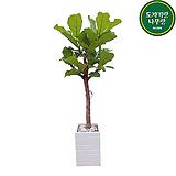 떡갈고무나무 사각화분 입주화분 관엽 실내화초 거실대형화분|Ficus elastica