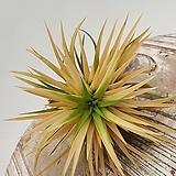 상태 정말 좋은 큰사이즈 노랑이오난사 틸란 틸란드시아 행잉식물 행잉플랜트 공중식물|