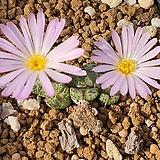 C. tantillum( 탄틸룸)