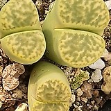 Lithops Sulphurea 술푸레아|