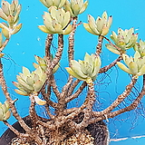 Graptosedum Little Beauty