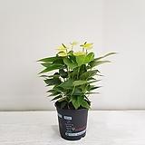 안시리움(노랑)/공기정화식물/반려식물/온누리 꽃농원|Anthurium andraeaeanum
