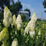 라임라이트(네덜란드목水菊)개화주,80cm전후