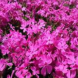 꽃잔디,홍솔(30포트묶음),분홍꽃,같이가치농원