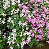 사랑초-분홍과흰색2개|
