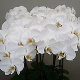 호접란.흰색대륜.꽃만개.꽃형큰형.순백색.고급종.상태굿.