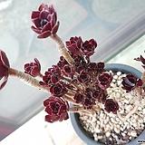 로즈흑법사묵은둥이-철화풀림|Aeonium Schwartzkopf