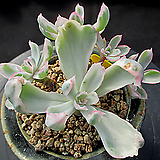 버클리금 9-592|Echeveria Berkeley Light
