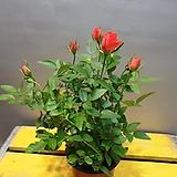 명품주황장미( 노지월동가능) 재입고 일년에 몇번 꽃이와요|